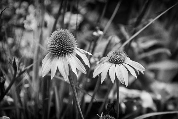 Cornflowers Photograph - Cornflowers In Black And White by Garry Gay