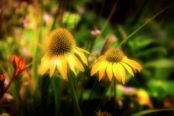 Cornflowers Photograph - Cornflowers In The Garden by Garry Gay