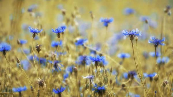 Cornflowers Photograph - Cornflowers by Martin Podt