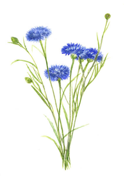Blue Cornflower Painting - Cornflowers Painting by Green Palace