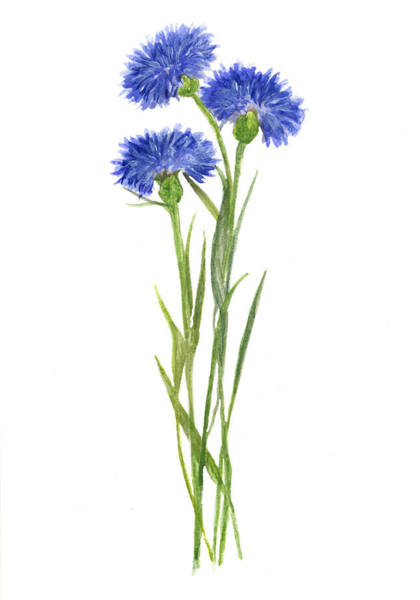 Blue Cornflower Painting - Cornflowers Watercolor by Green Palace