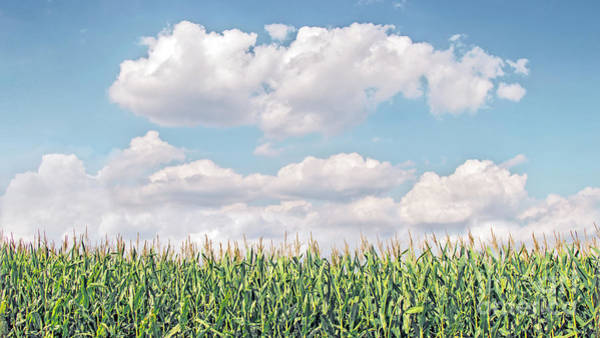 Photograph - Cornstalks In A Cottony Sky by Hal Halli