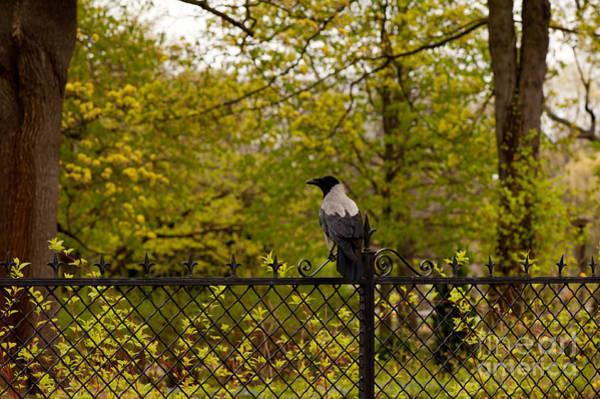 Wall Art - Photograph - Corvus Cornix Hooded Crow by Arletta Cwalina