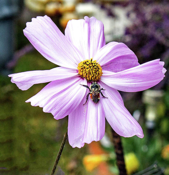Photograph - Cosmos And The Bee by Frank Vargo