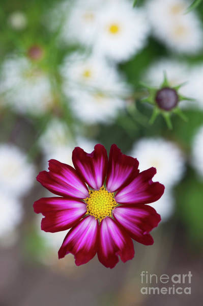 Aster Photograph - Cosmos Bipinnatus by Tim Gainey