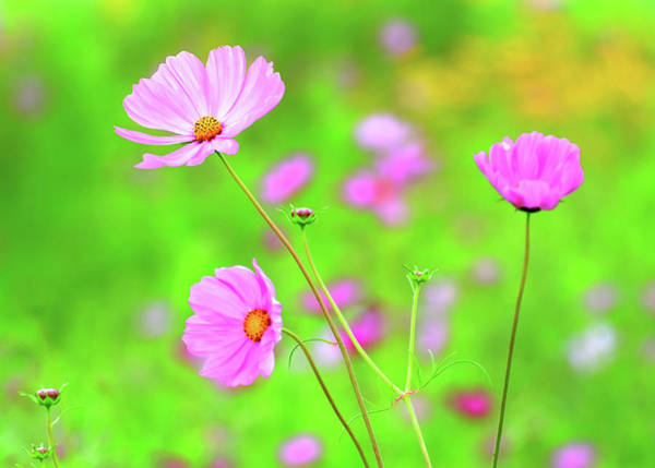 Photograph - Cosmos Blooming In A Meadow by Rodney Campbell