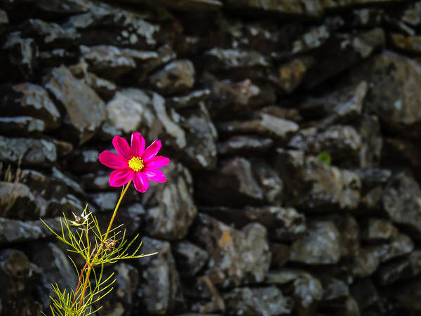 Photograph - Cosmos Flower And Irish Stone Wall by James Truett