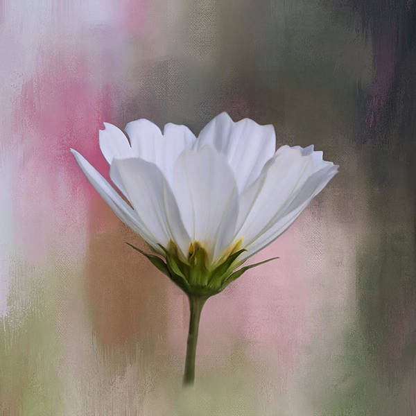 Photograph - Cosmos Flower In White by Kim Hojnacki