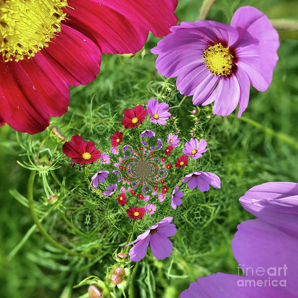Photograph - Cosmos Flowers Abstract by Smilin Eyes  Treasures