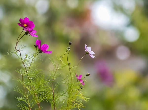 Photograph - Cosmos Flowers by Terry DeLuco