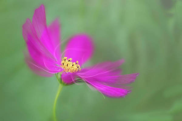 Photograph - Cosmos Gets Ready For The Prom. by Usha Peddamatham