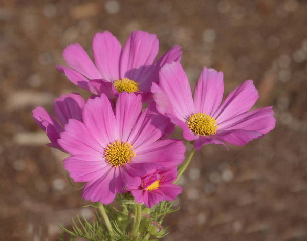 Photograph - Cosmos In The Garden by Kim Hojnacki