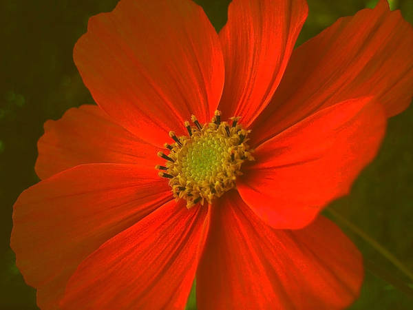 Blume Photograph - Cosmos by Juergen Weiss