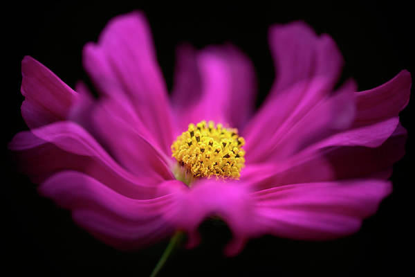 Cerise Photograph - Cosmos Waves by Jacky Parker