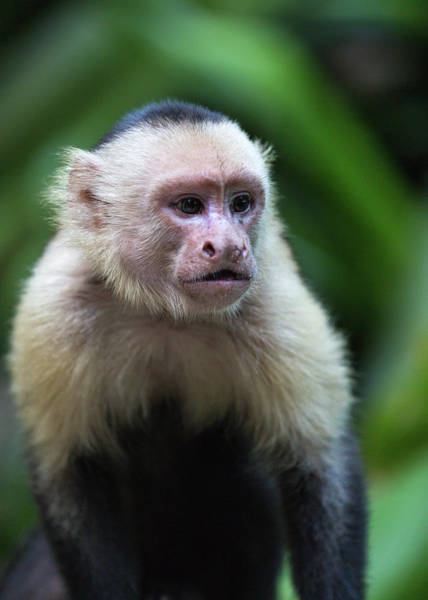 Photograph - Costa Monkey 1 by Dillon Kalkhurst