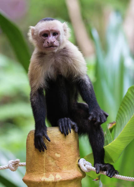 Photograph - Costa Monkey 2 by Dillon Kalkhurst
