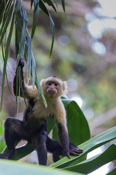 Photograph - Costa Monkey 3 by Dillon Kalkhurst