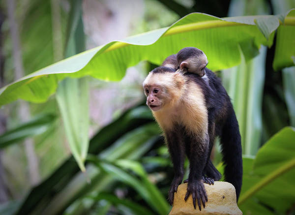 Photograph - Costa Monkey Mama by Dillon Kalkhurst