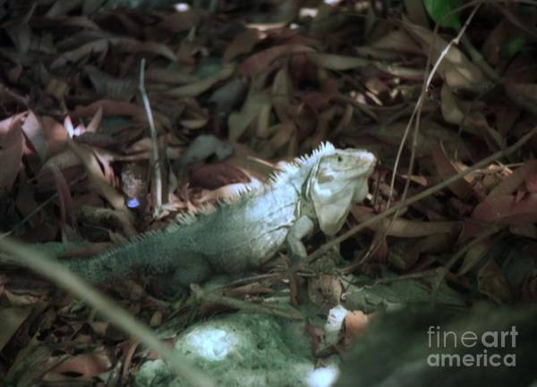 Photograph - Costa Rica Beach Iguana by Ted Pollard