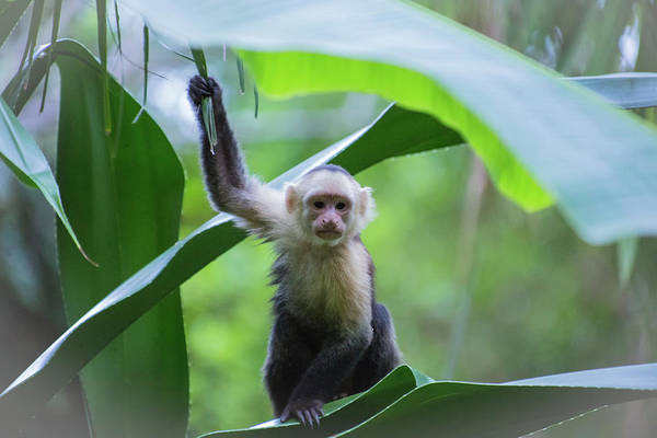 Costa Rica Monkeys 1 Art Print