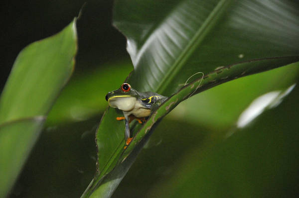 Photograph - Costa Rica Red Eye Frog I by Jody Lovejoy