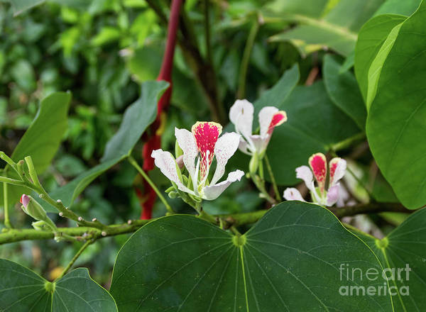 Cahuita Photograph - Costa Rica White And Scarlet Tree Flower by Norma Brandsberg