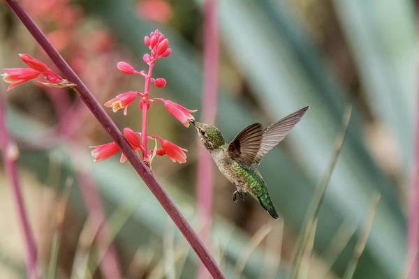 Photograph - Costa's Hummingbird 040817-6566 by Tam Ryan
