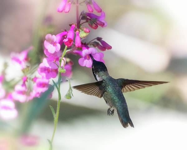Wall Art - Photograph - Costa's Hummingbird And The Pink Penstemon  by Saija Lehtonen
