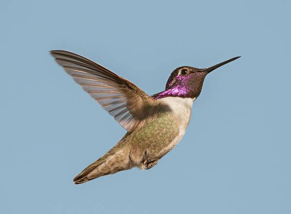Photograph - Costas Hummingbird In Flight by Loree Johnson