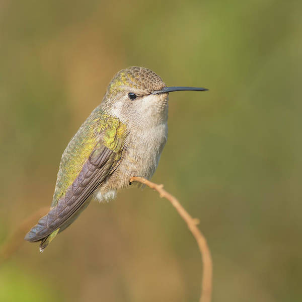 Bokah Photograph - Costa's Hummingbird Perched On A Twig by Morris Finkelstein