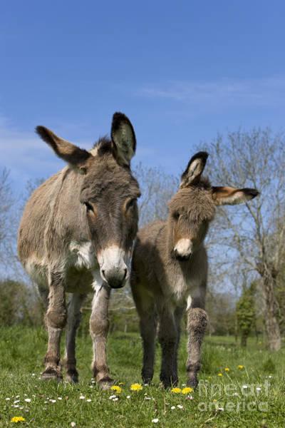 Equus Africanus Photograph - Cotentin Donkeys by Jean-Louis Klein & Marie-Luce Hubert