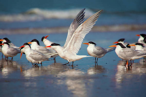 Elegant Tern Wall Art - Photograph - Cotillion On The Beach by Brian Knott Photography