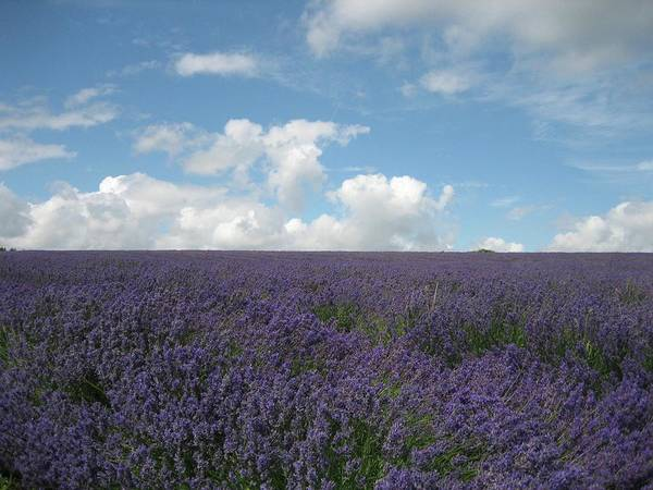 Photograph - Cotswolds Lavender Farm by Annette Hadley