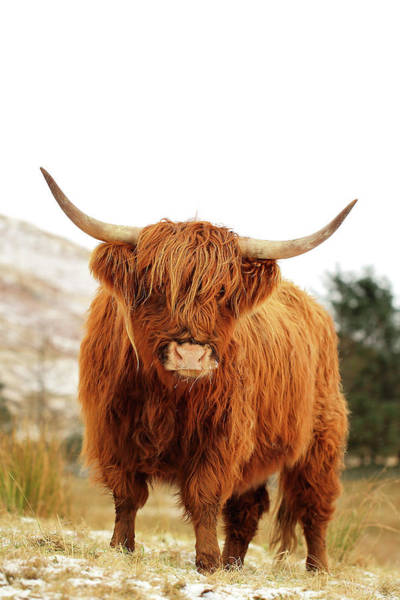 Cow Photograph - cottish Highland Cow Loch Lomond by Grant Glendinning