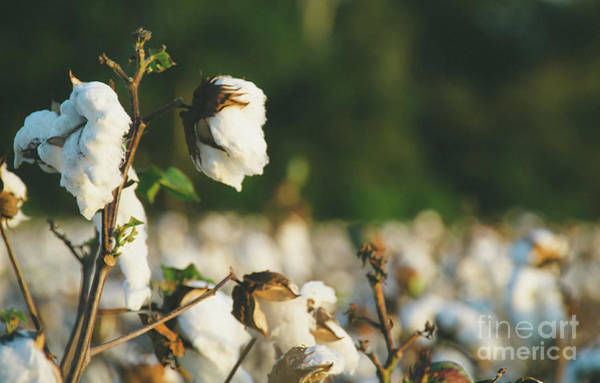 Photograph - Cotton Field 10 by Andrea Anderegg