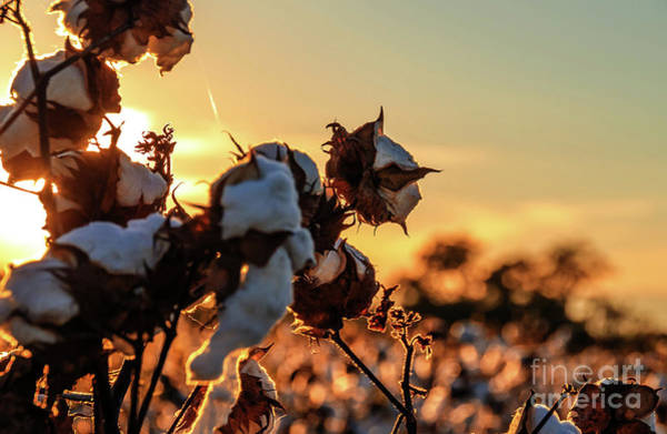 Photograph - Cotton Field 12 by Andrea Anderegg