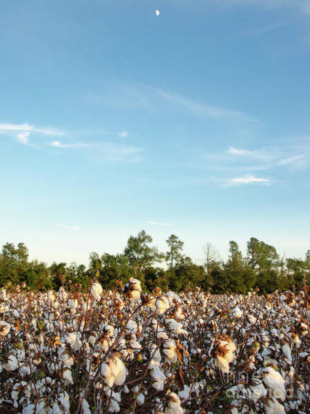 Photograph - Cotton Field 16 by Andrea Anderegg