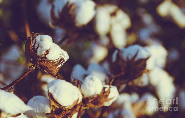 Photograph - Cotton Field 18 by Andrea Anderegg