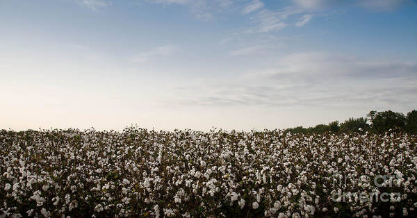 Photograph - Cotton Field 2 by Andrea Anderegg