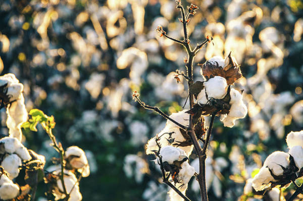 Photograph - Cotton Field 21 by Andrea Anderegg