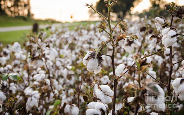 Photograph - Cotton Field 3 by Andrea Anderegg