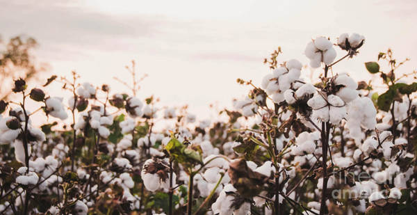 Photograph - Cotton Field 6 by Andrea Anderegg
