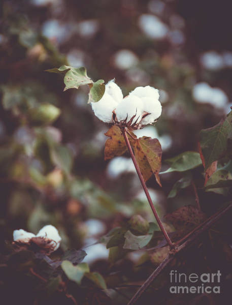 Photograph - Cotton Flower 2 by Andrea Anderegg