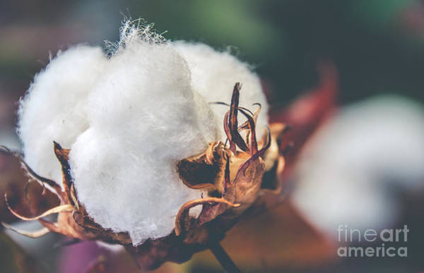 Photograph - Cotton Flower by Andrea Anderegg