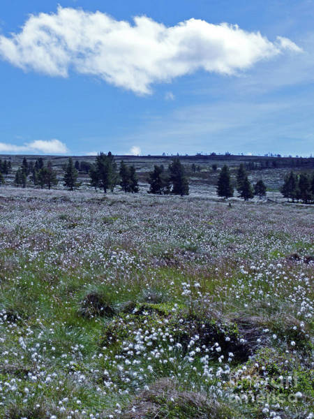 Photograph - Cotton Grass Moor by Phil Banks