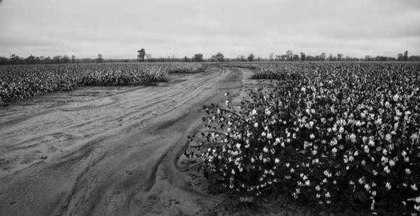 Photograph - Cotton In The Field 02 Bw by Jim Dollar