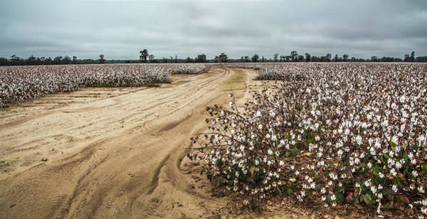 Photograph - Cotton In The Field 02 Panorama by Jim Dollar