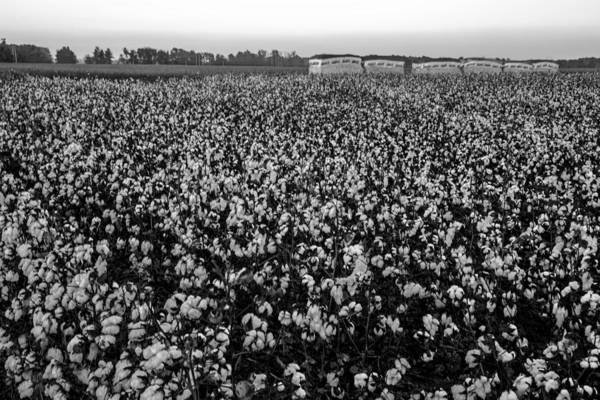Photograph - Cotton In The Field 05 Bw by Jim Dollar