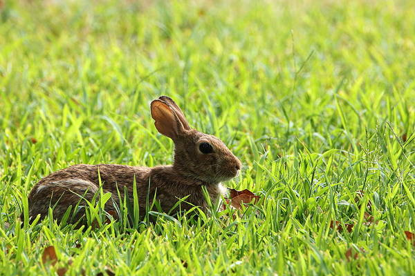 Photograph - Cotton-tail Rabbit Lying In Grass by Sheila Brown