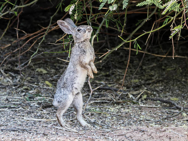 Photograph - Cotton Tail Rabbit by Tam Ryan